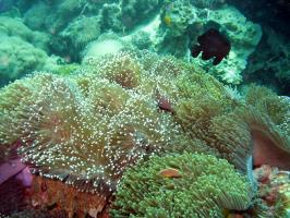 Sea anemone - the home of Anemonefish.