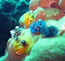 Colourful Christmas Tree Worms on Koh Racha Yai Islands coral reefs.