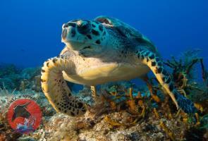 Cozumel's Manta Raya Turtle