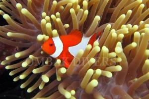 Clown fish, Gili Trawangan dive