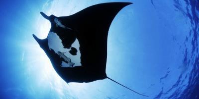 Dive with Manta Rays at Legend Diving Lembongan