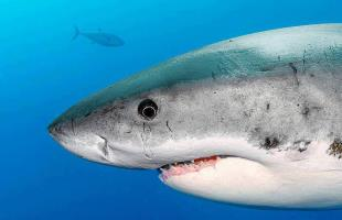 White sharks expeditions