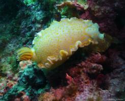 Doris géante (nudibranche)
