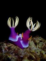 Bullocki Nudibranches