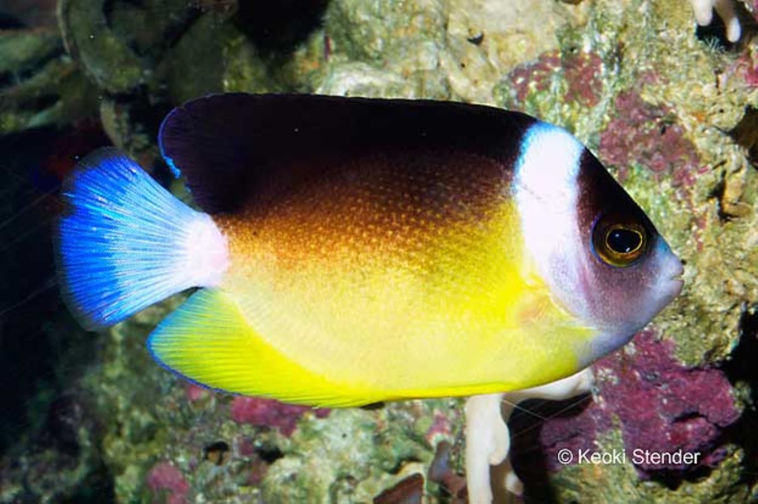 Abe's Angelfish