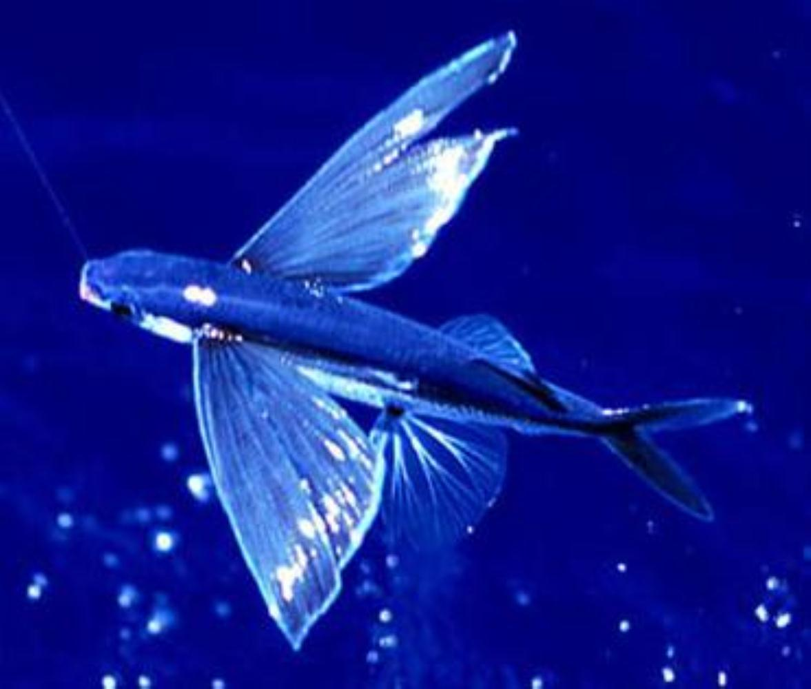 Atlantic Flyingfish