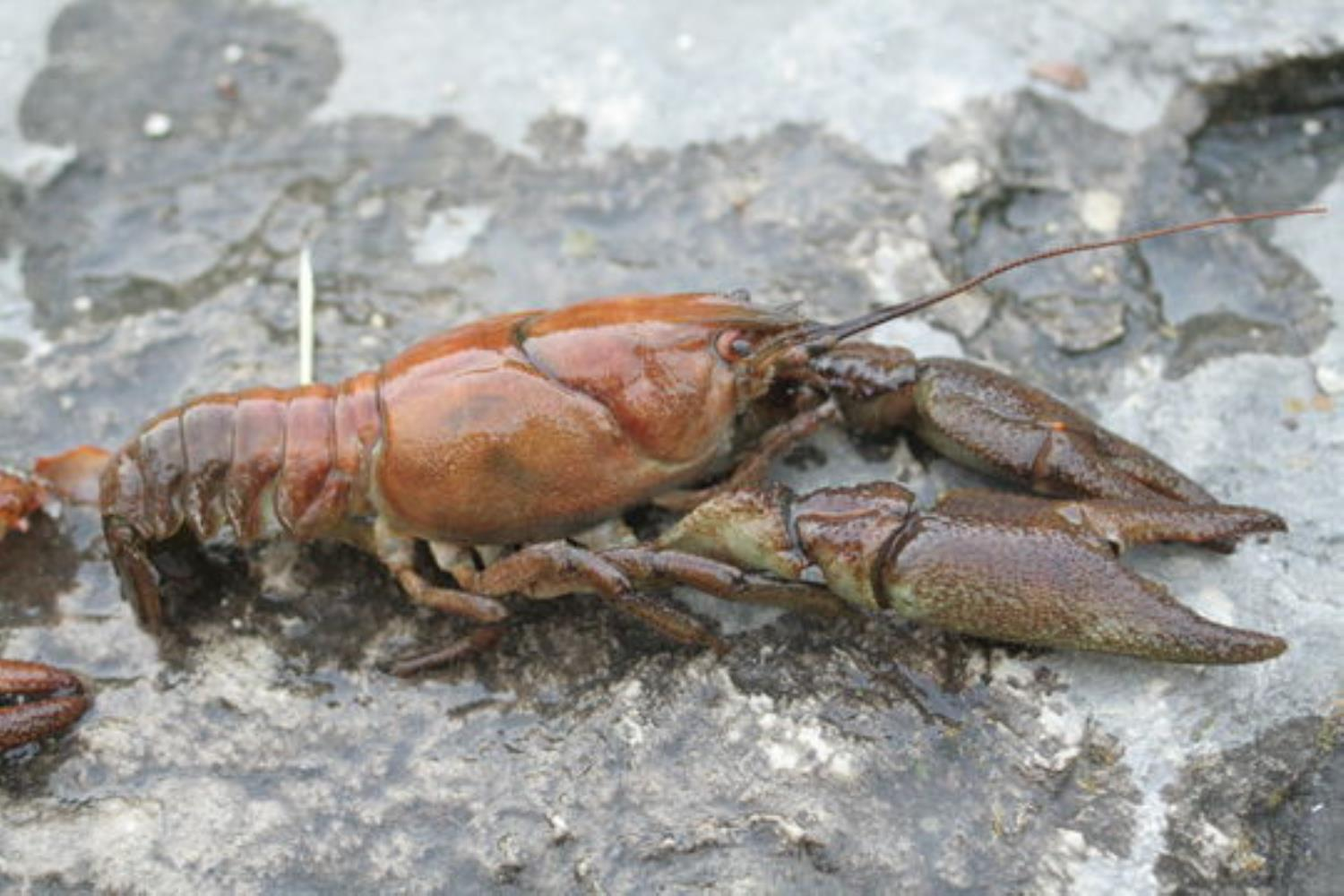 Atlantic Stream Crayfish