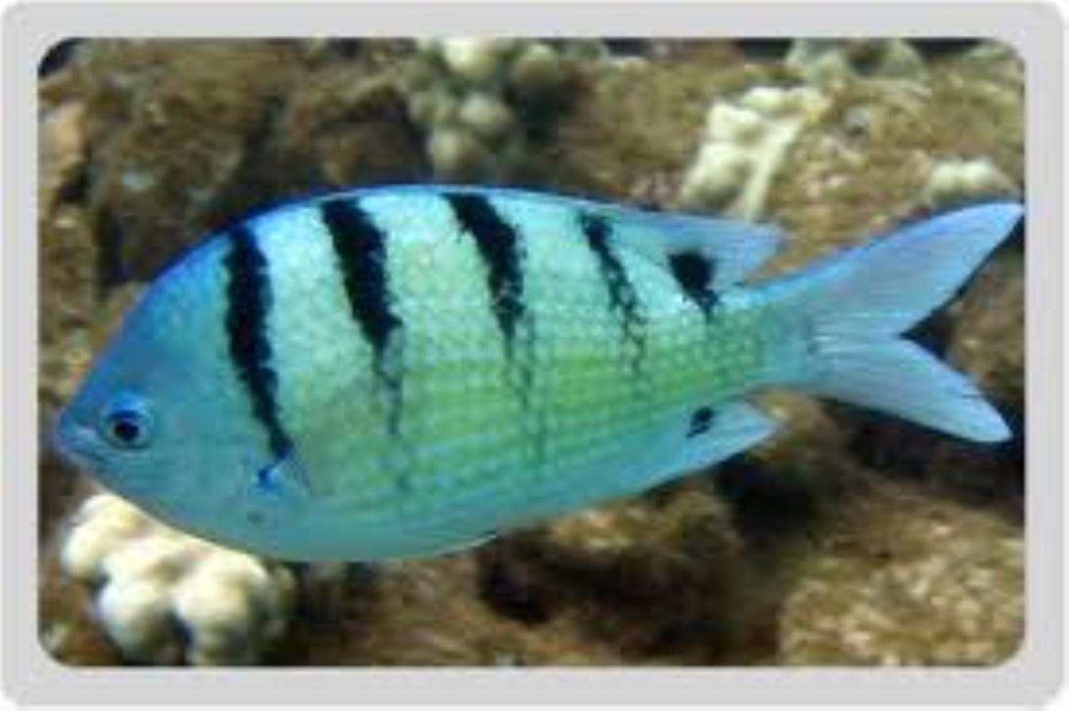 Banded Damselfish