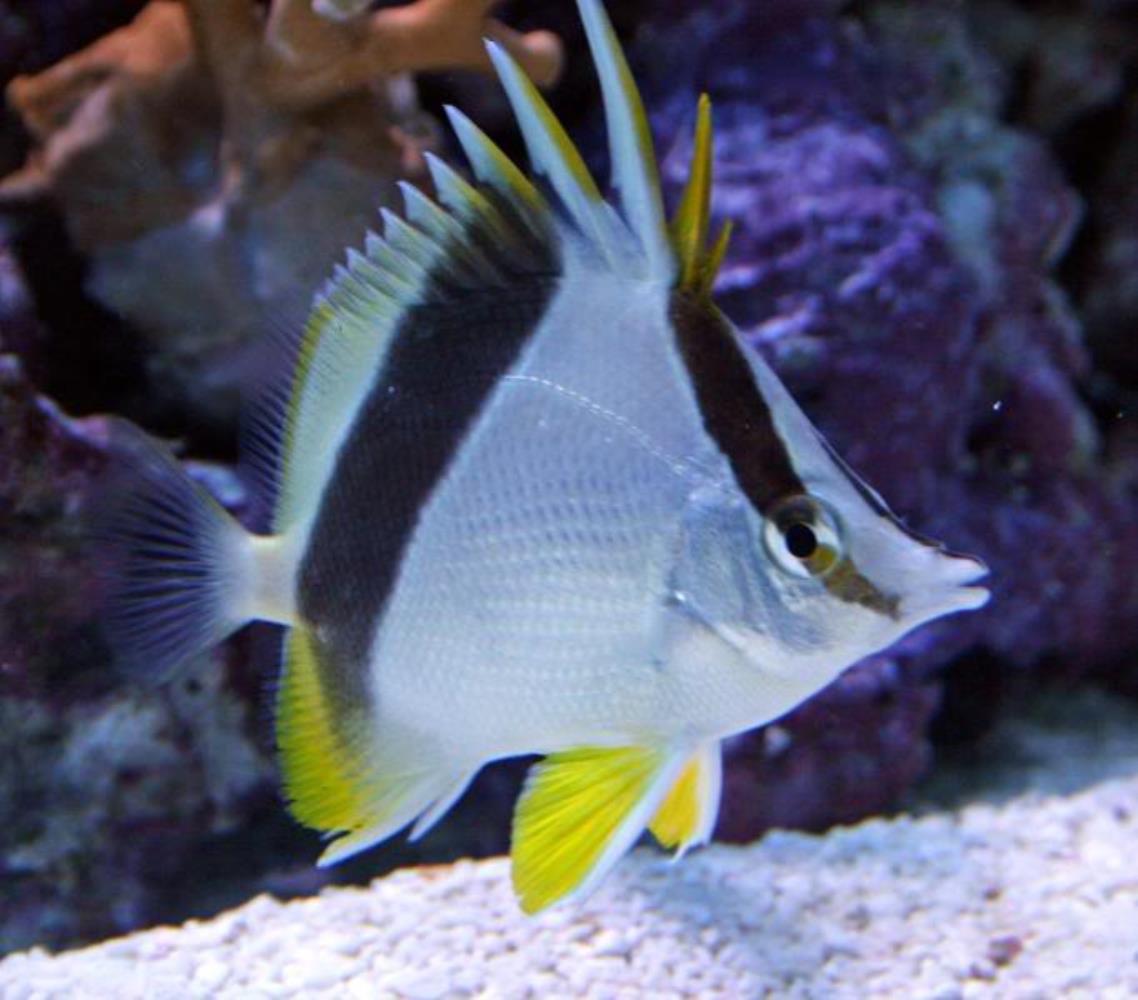 Bank Butterflyfish
