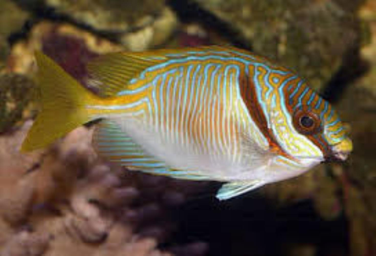 Barred Spinefoot Rabbitfish