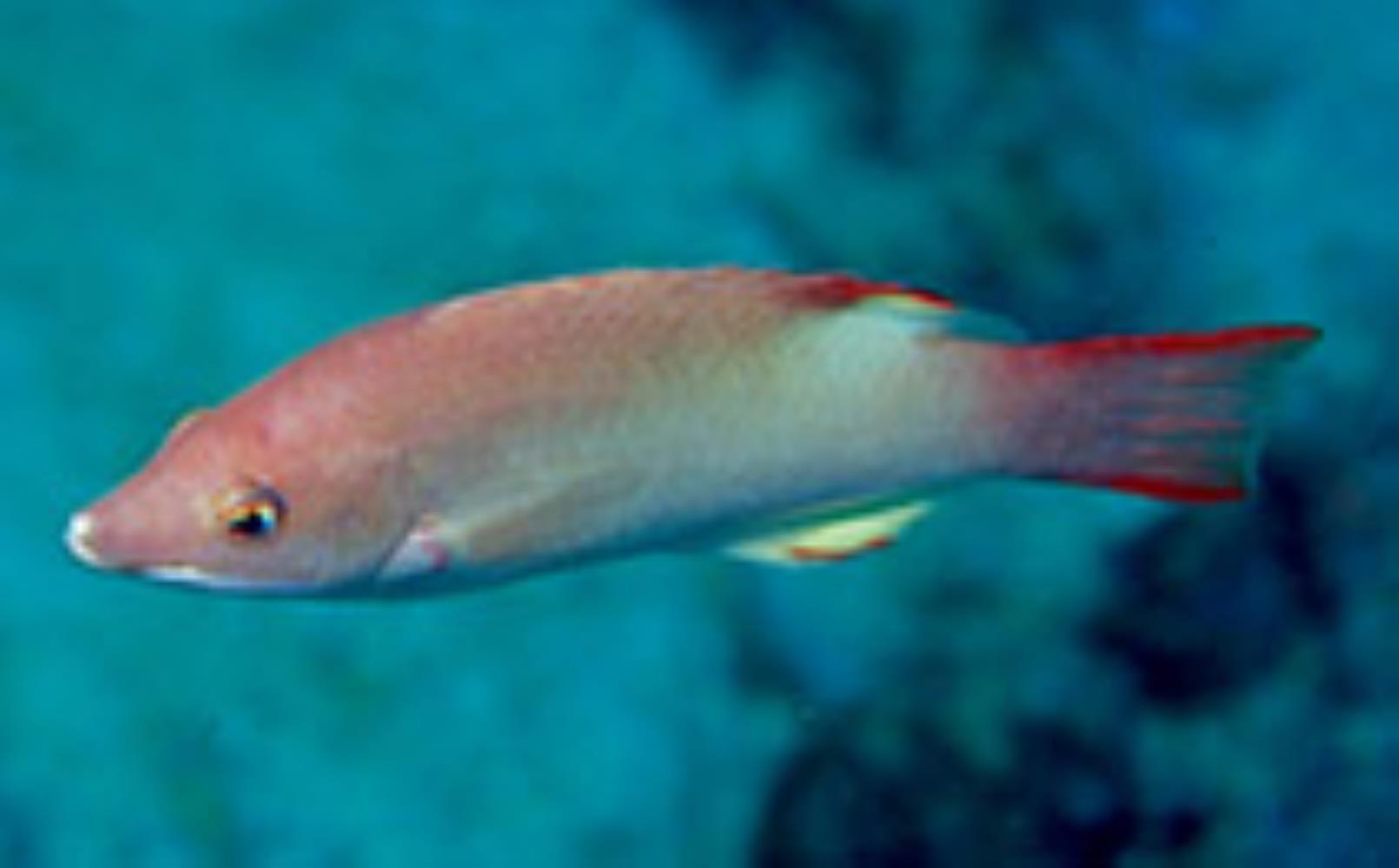 Bay of Bengal Hogfish