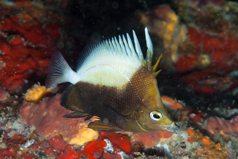 Bicolor Butterflyfish