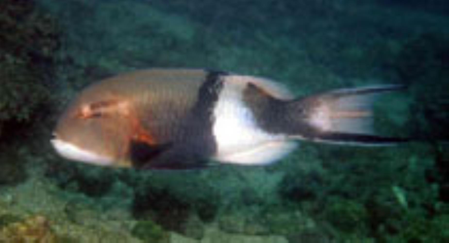 Blackbar Hogfish