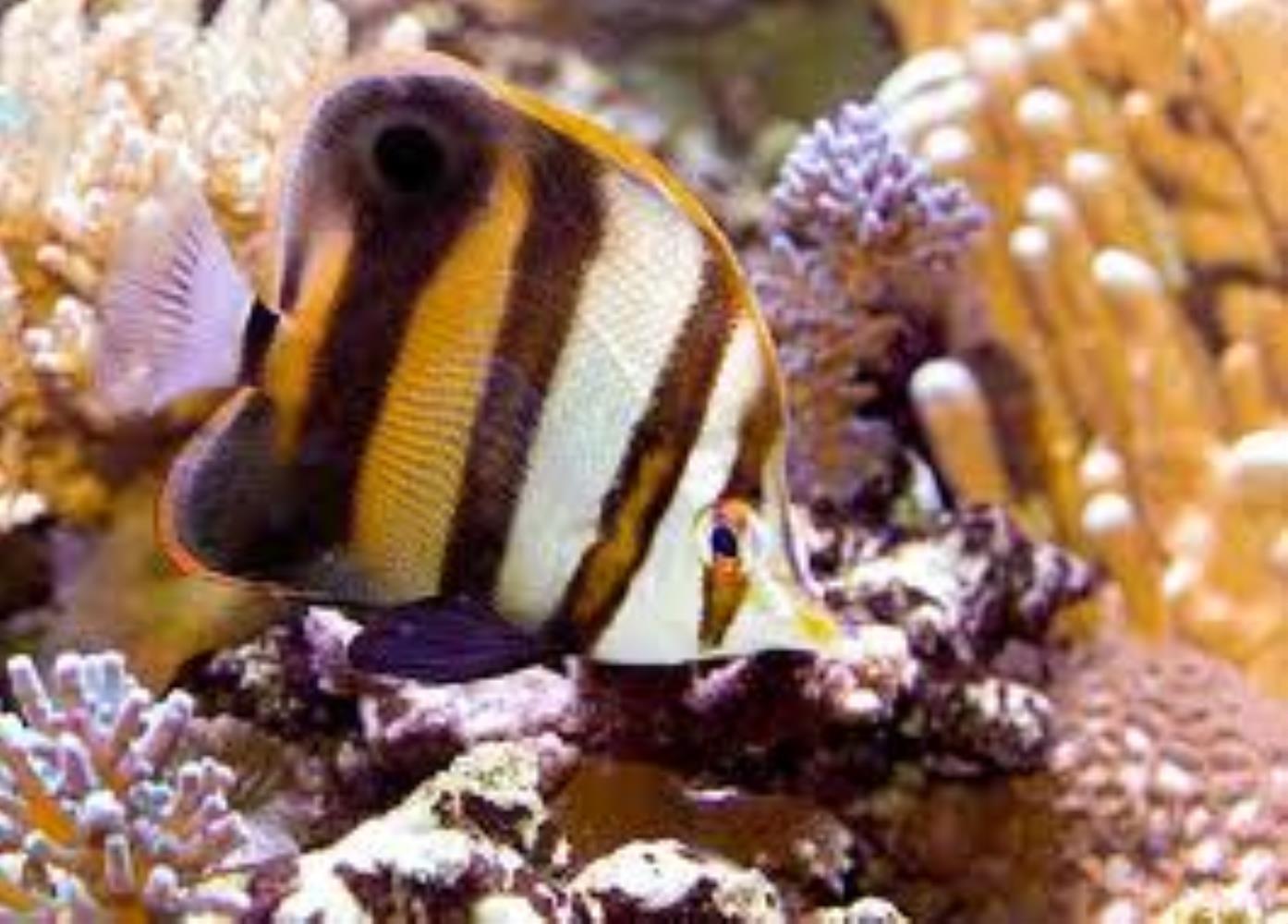 Blackfin Coralfish