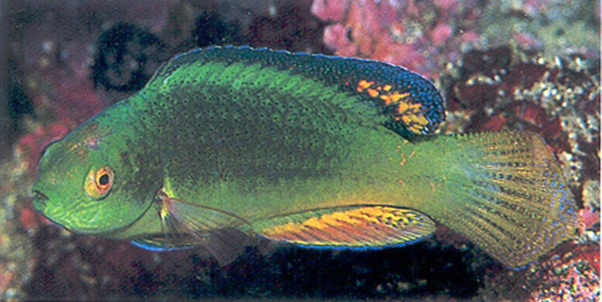 Blackfin Fairy Wrasse