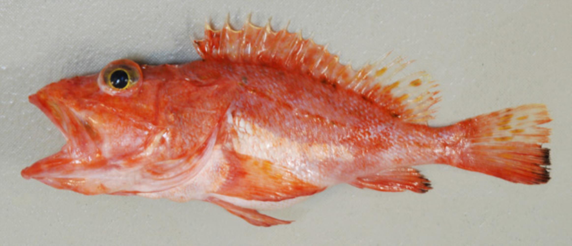 Blacklash Scorpionfish