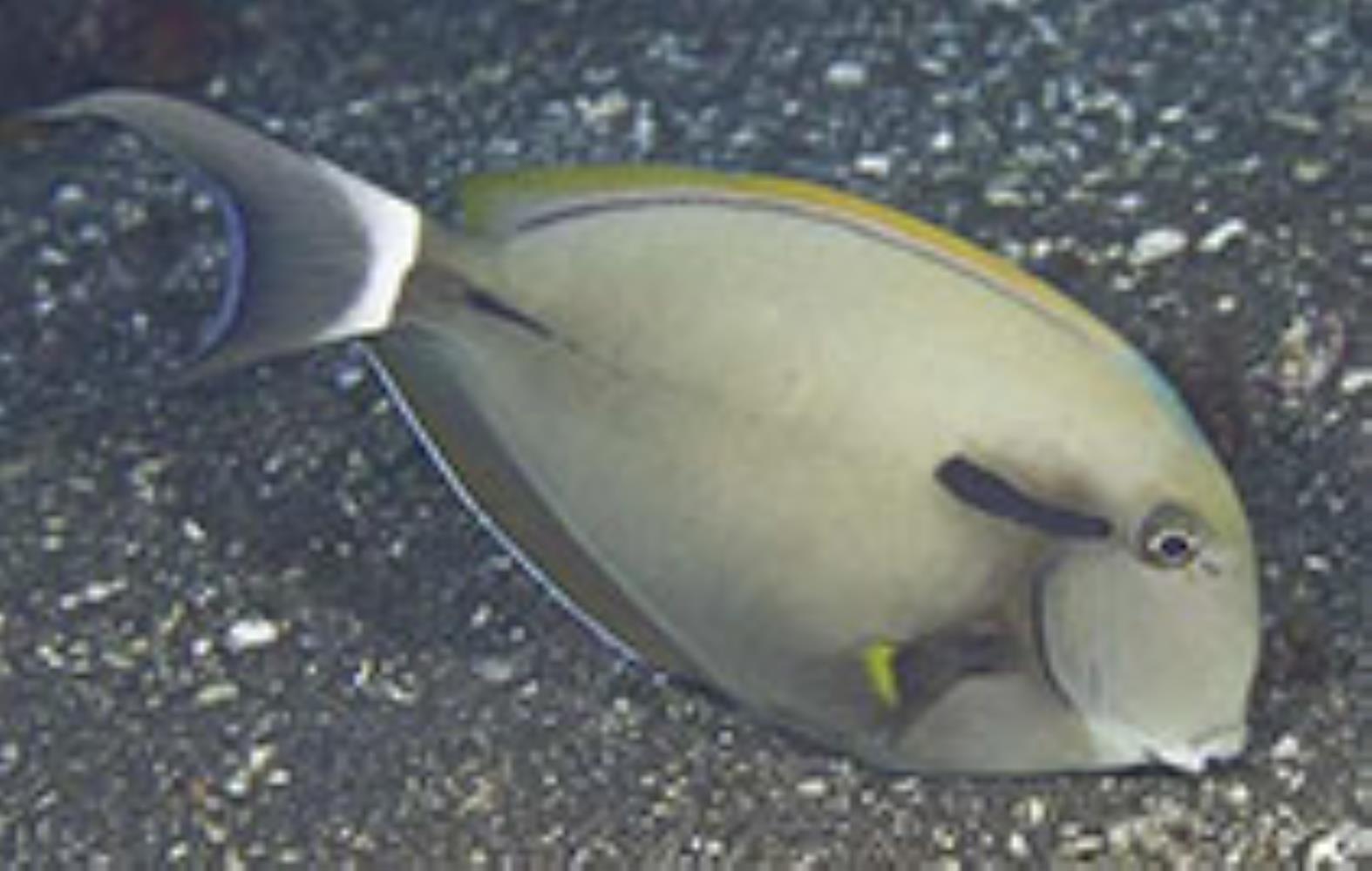 Blackstreak/Blackstripe Surgeonfish