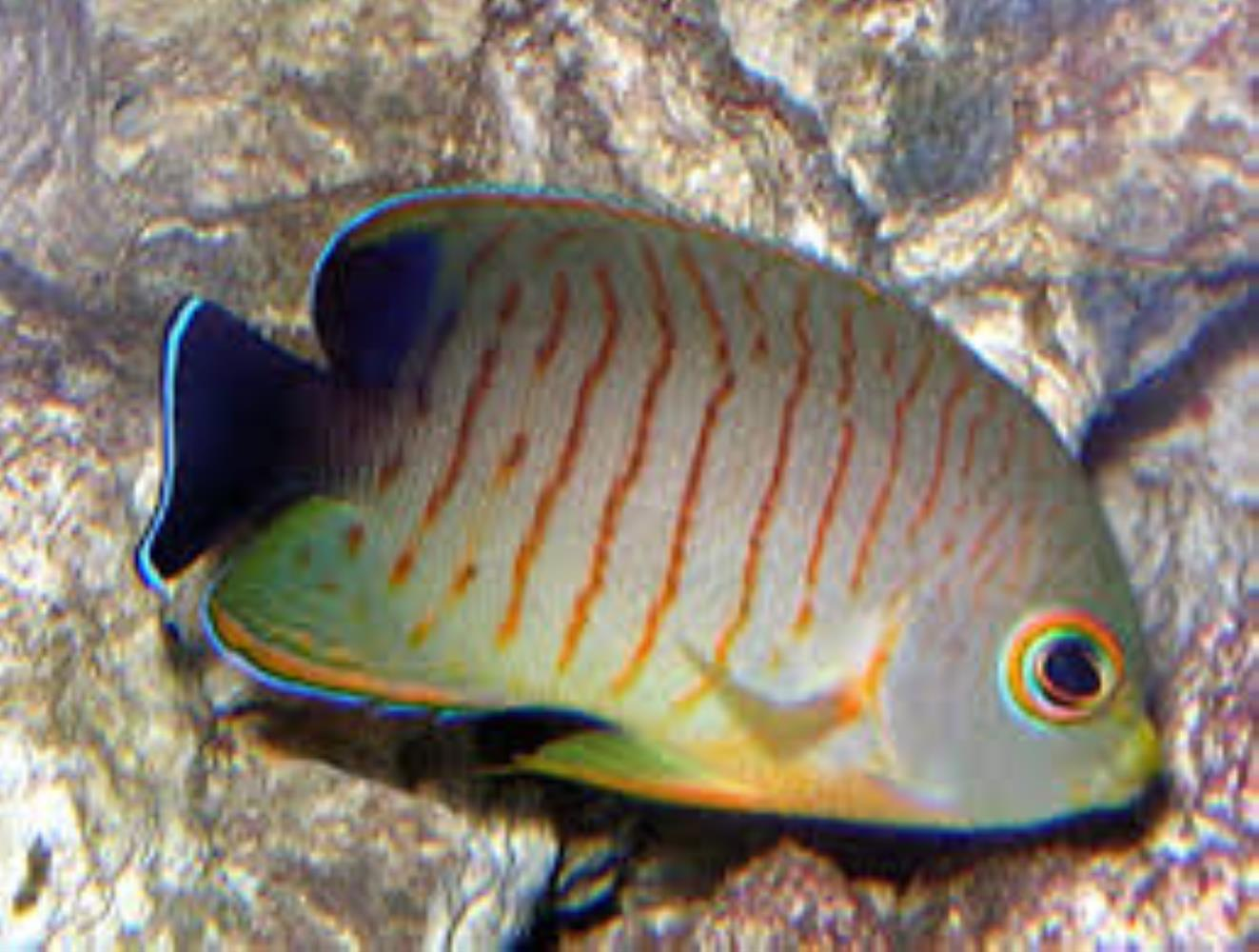 Blacktail Angelfish