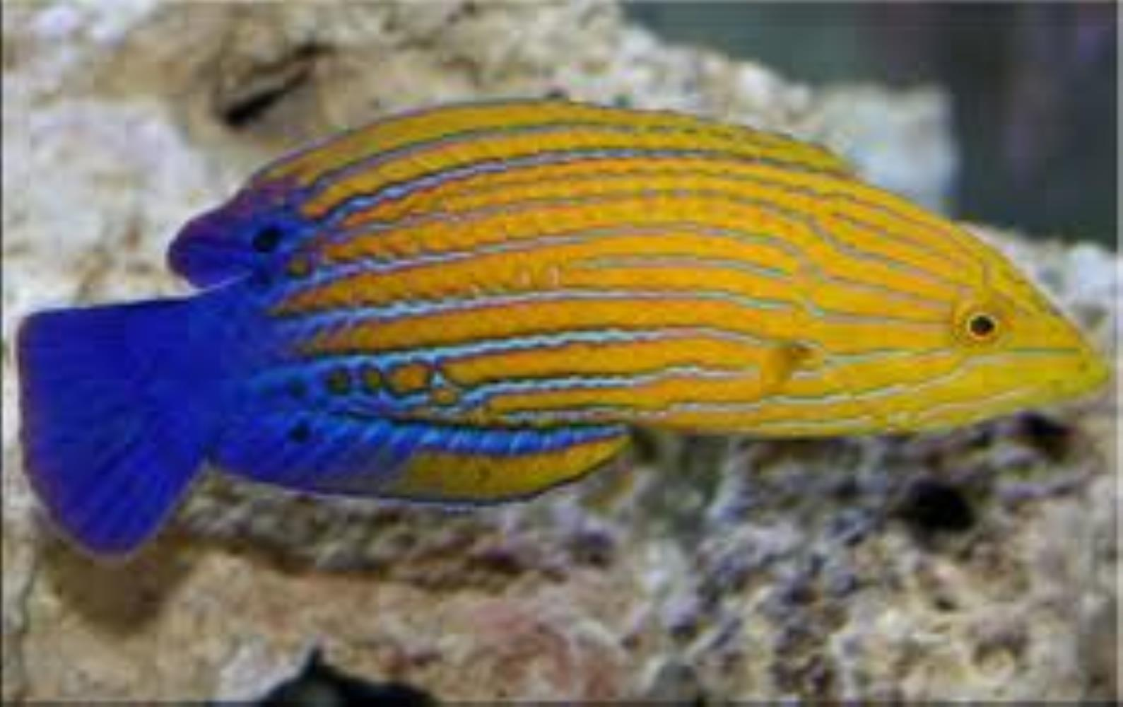 Blue-striped Orange Tamarin