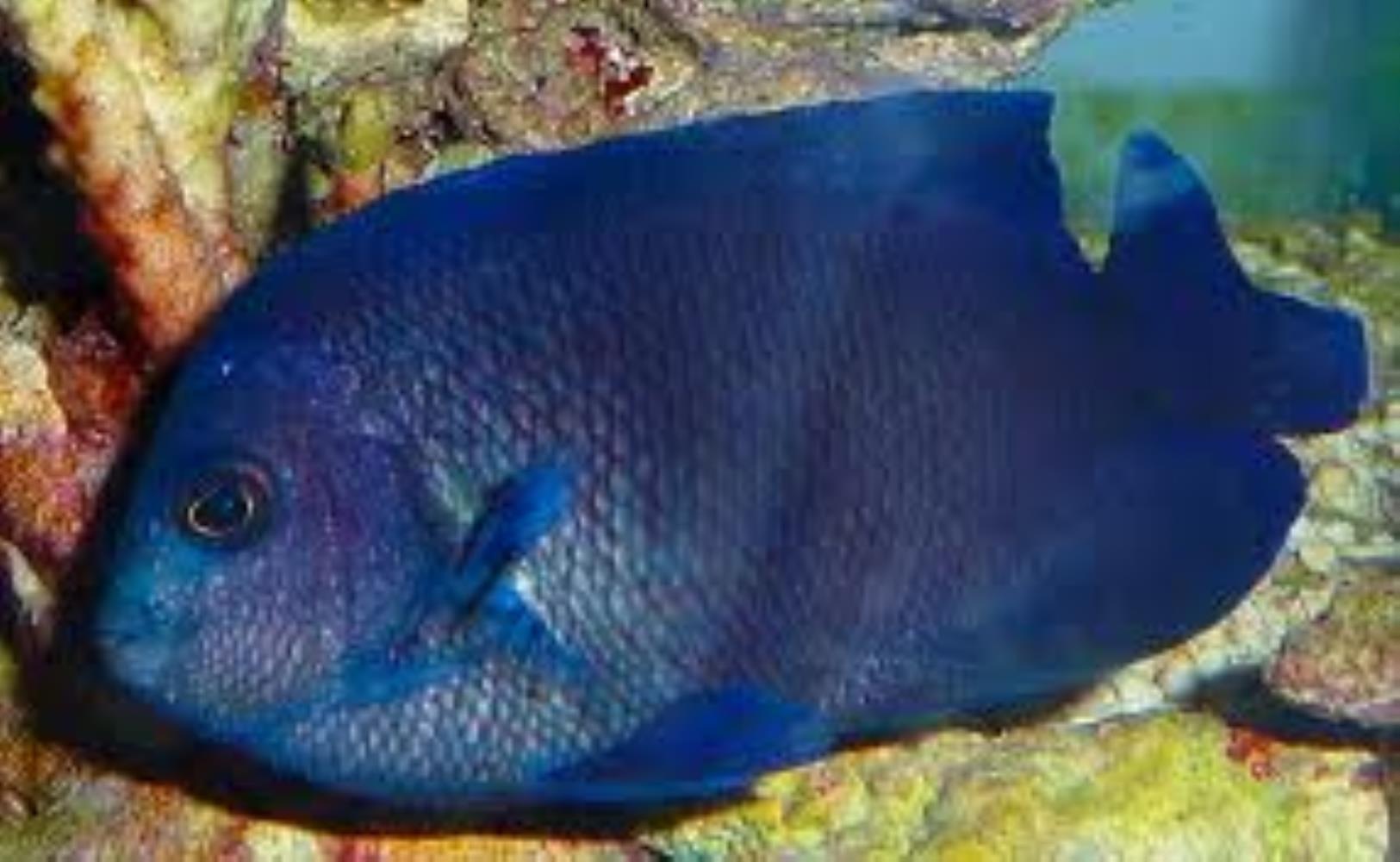 Blue Velvet Angelfish