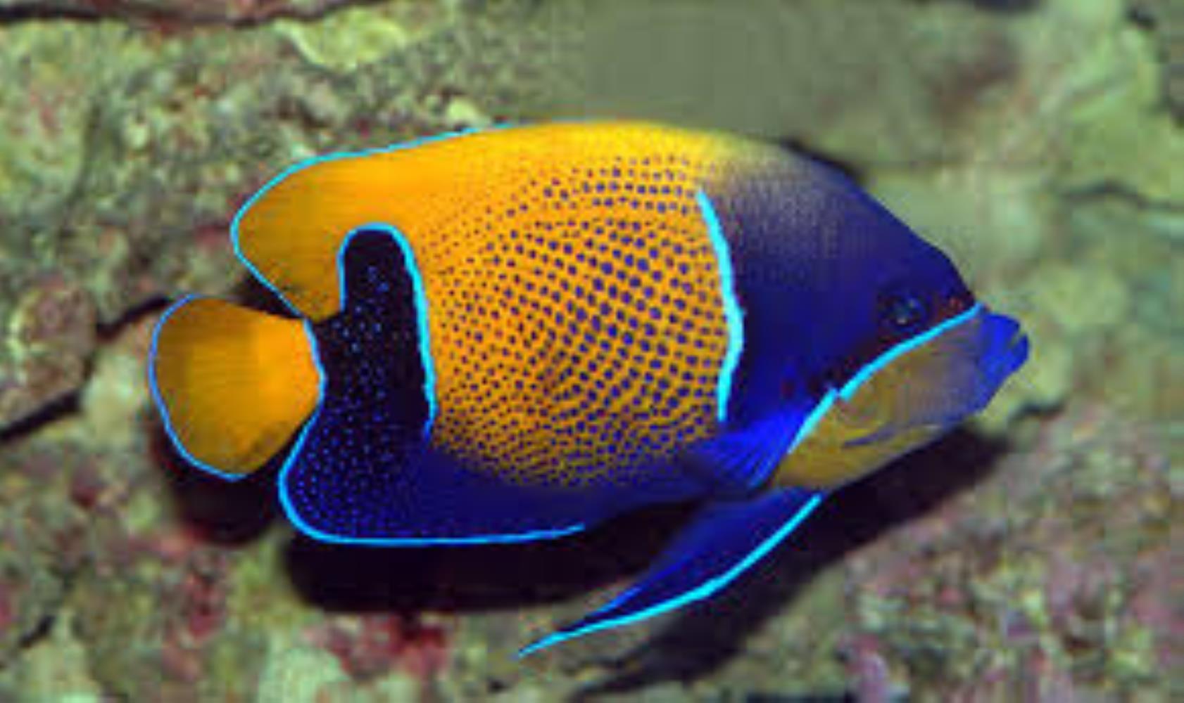Bluegirdled Angelfish