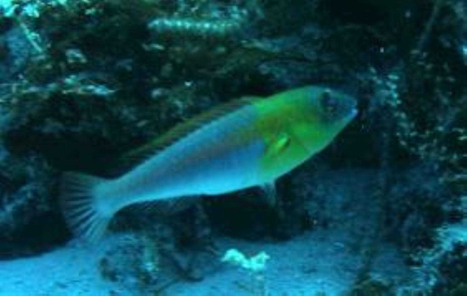 Bluelip Parrotfish