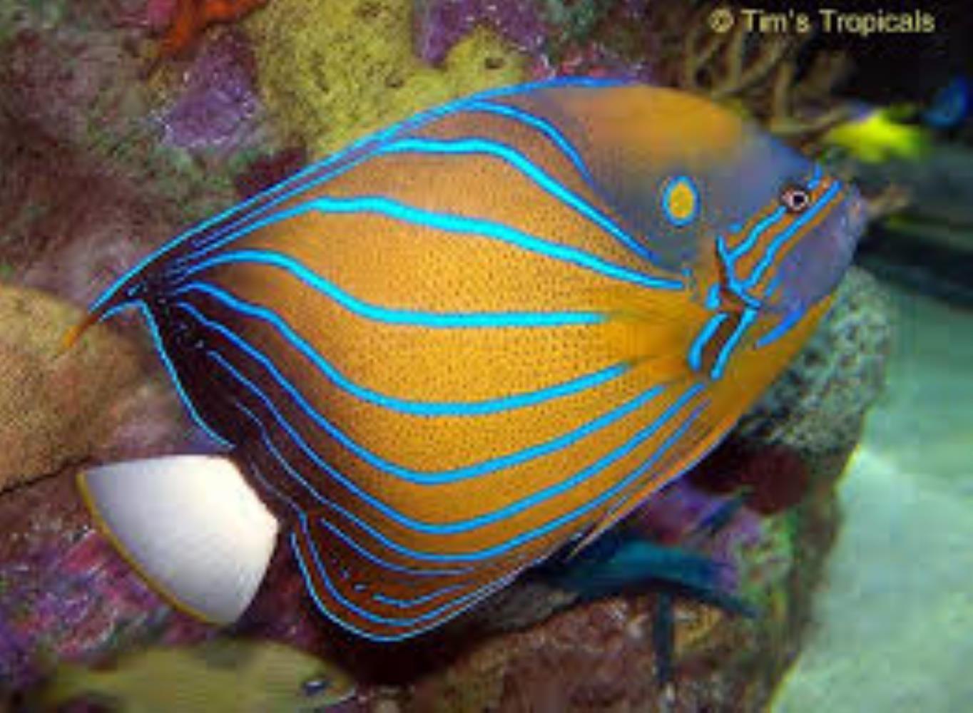 Bluering Angelfish