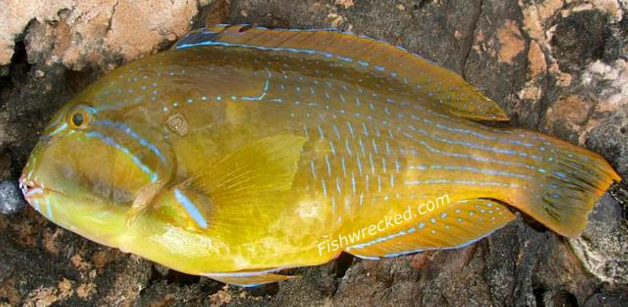 Bluespotted Tuskfish