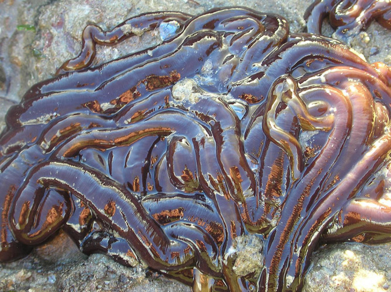 Bootlace Worm