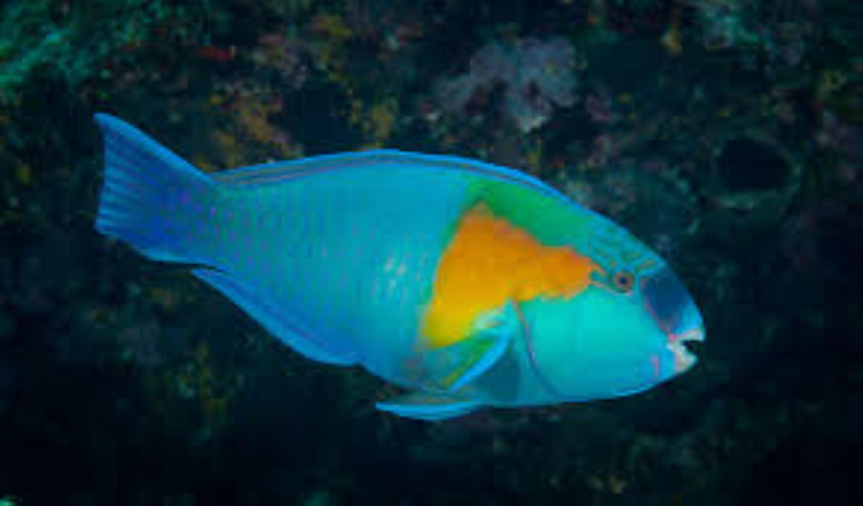 Bower's Parrotfish