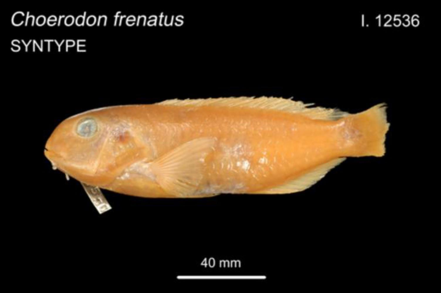 Bridled Tuskfish