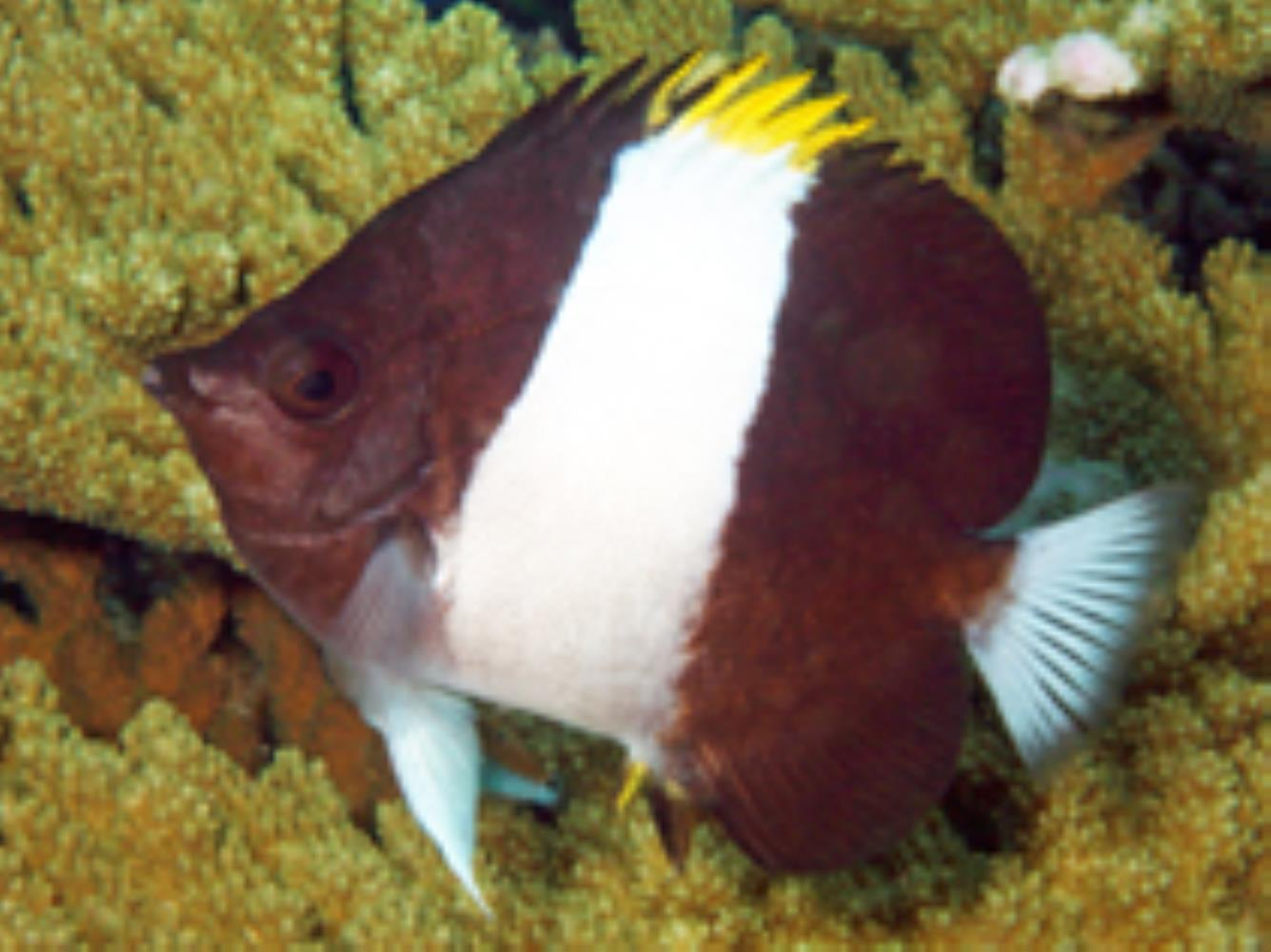 Brown-and-white Butteflyfish