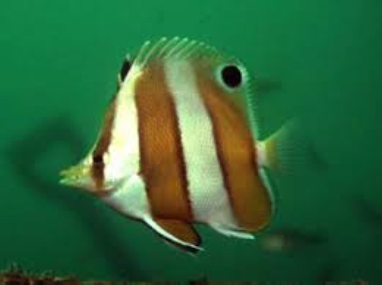 Brown-banded Butterflyfish
