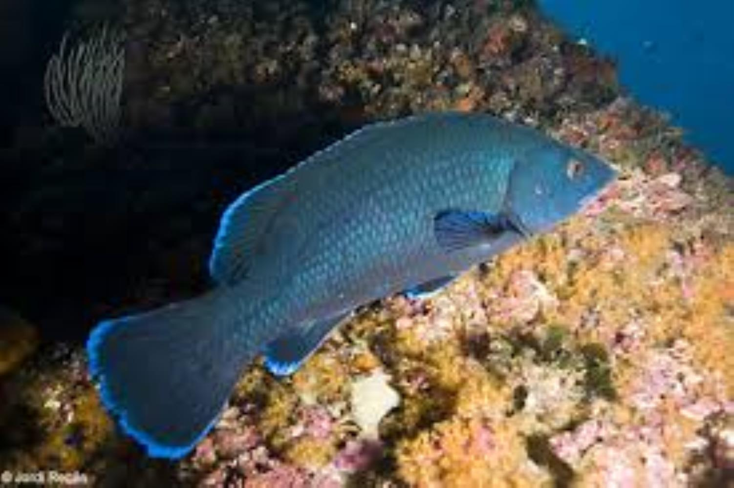 Brown Wrasse
