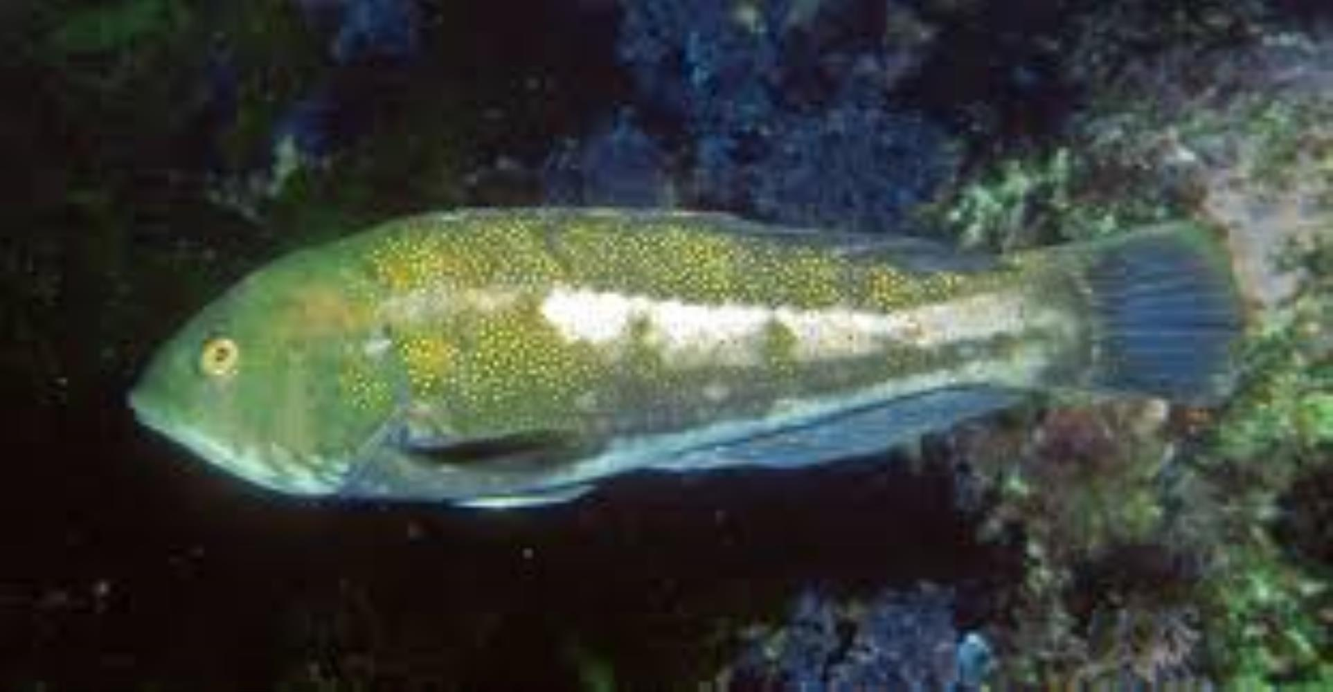 Brownspotted Wrasse