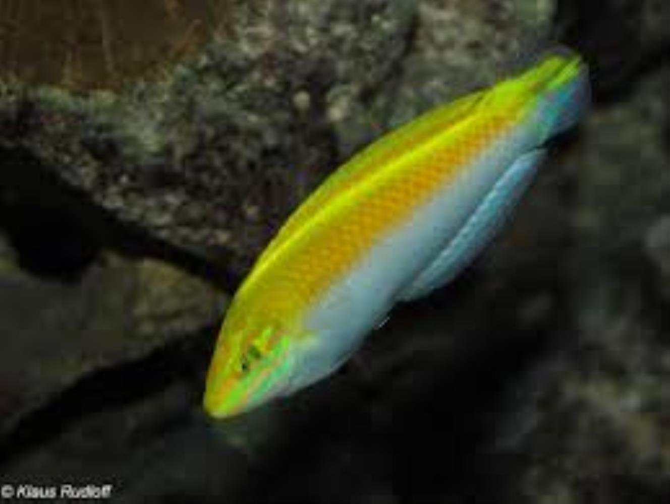 Canarytop Wrasse