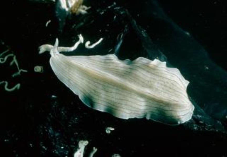 Candy Stripe Flatworm