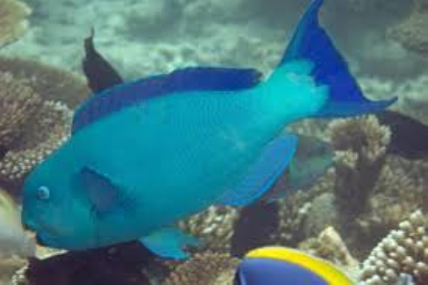 Captain Parrotfish