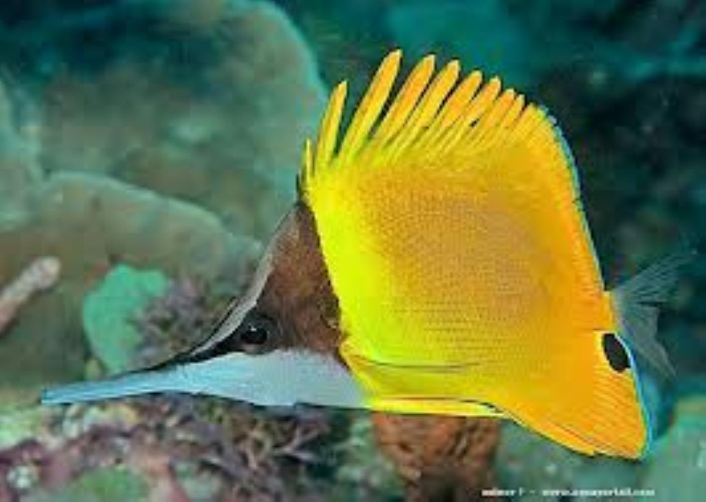 Cenderawasih Longnose Butterflyfish