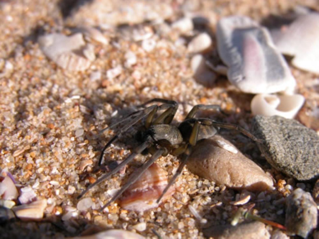 Chevron shore spider