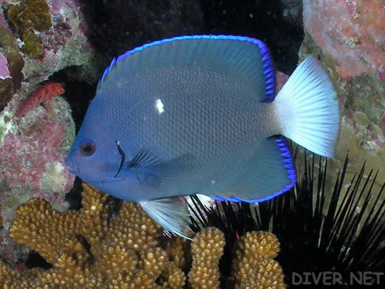 Clipperton Angelfish