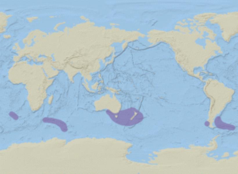 Common Diving Petrel