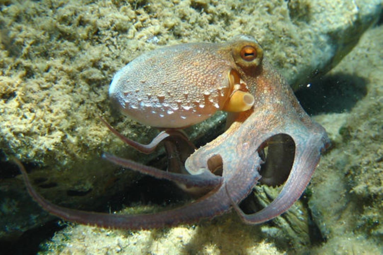 Common Octopus