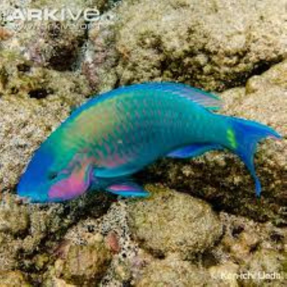 Common Parrotfish