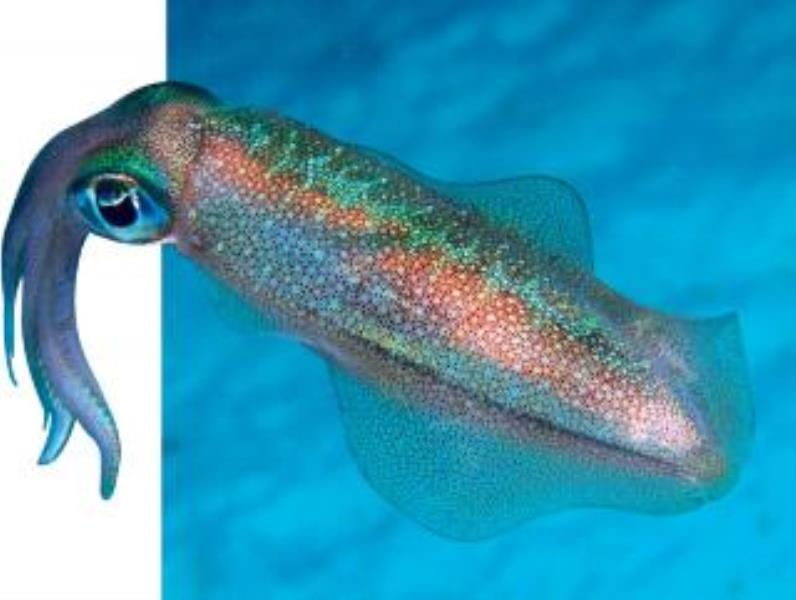Common Squid