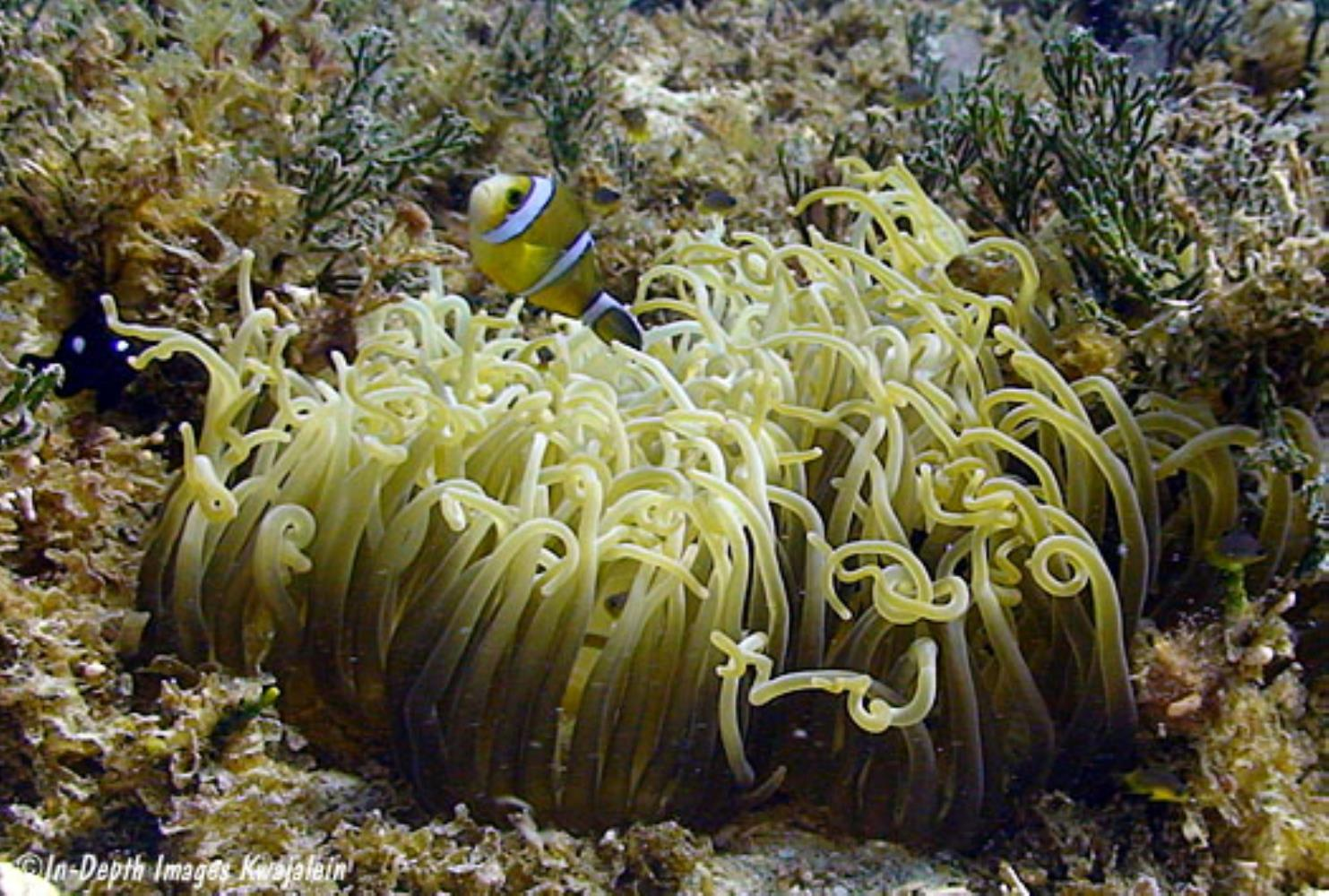 Corkscrew Tentacle Sea Anemone