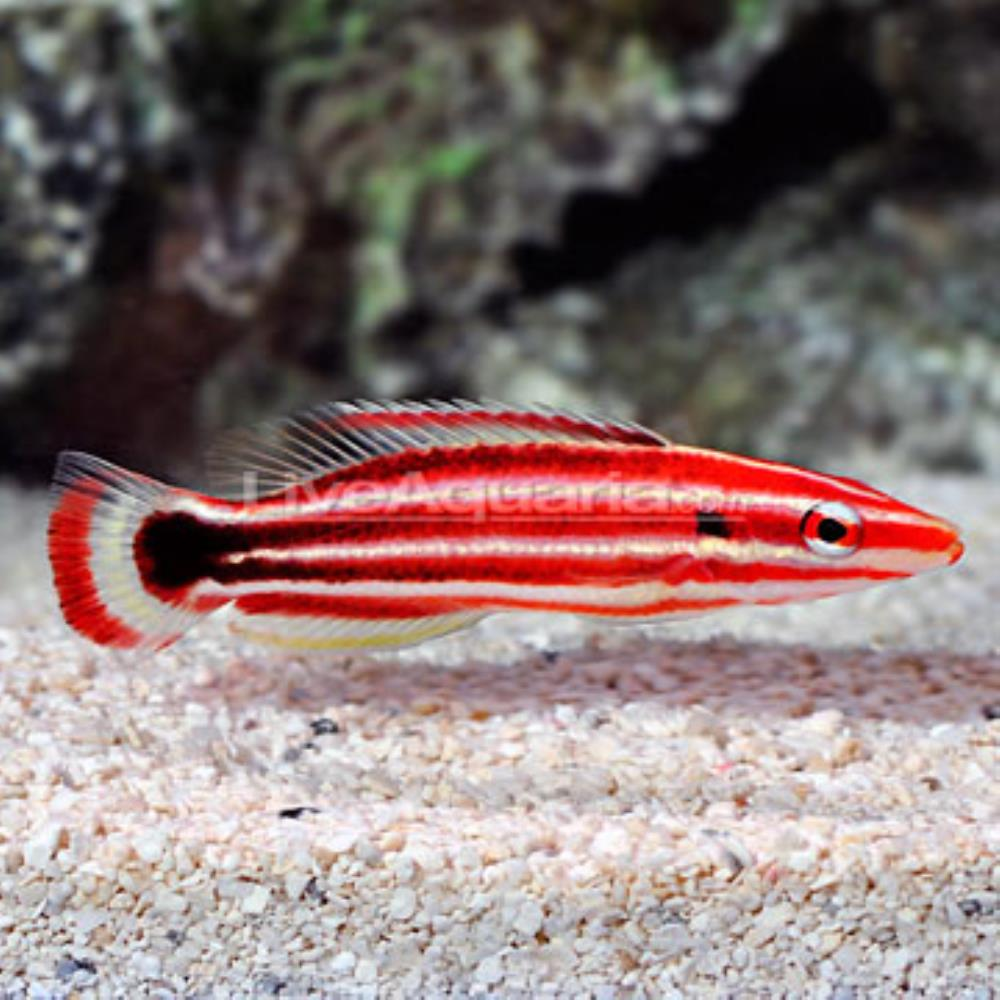 Crescent-tail Hogfish