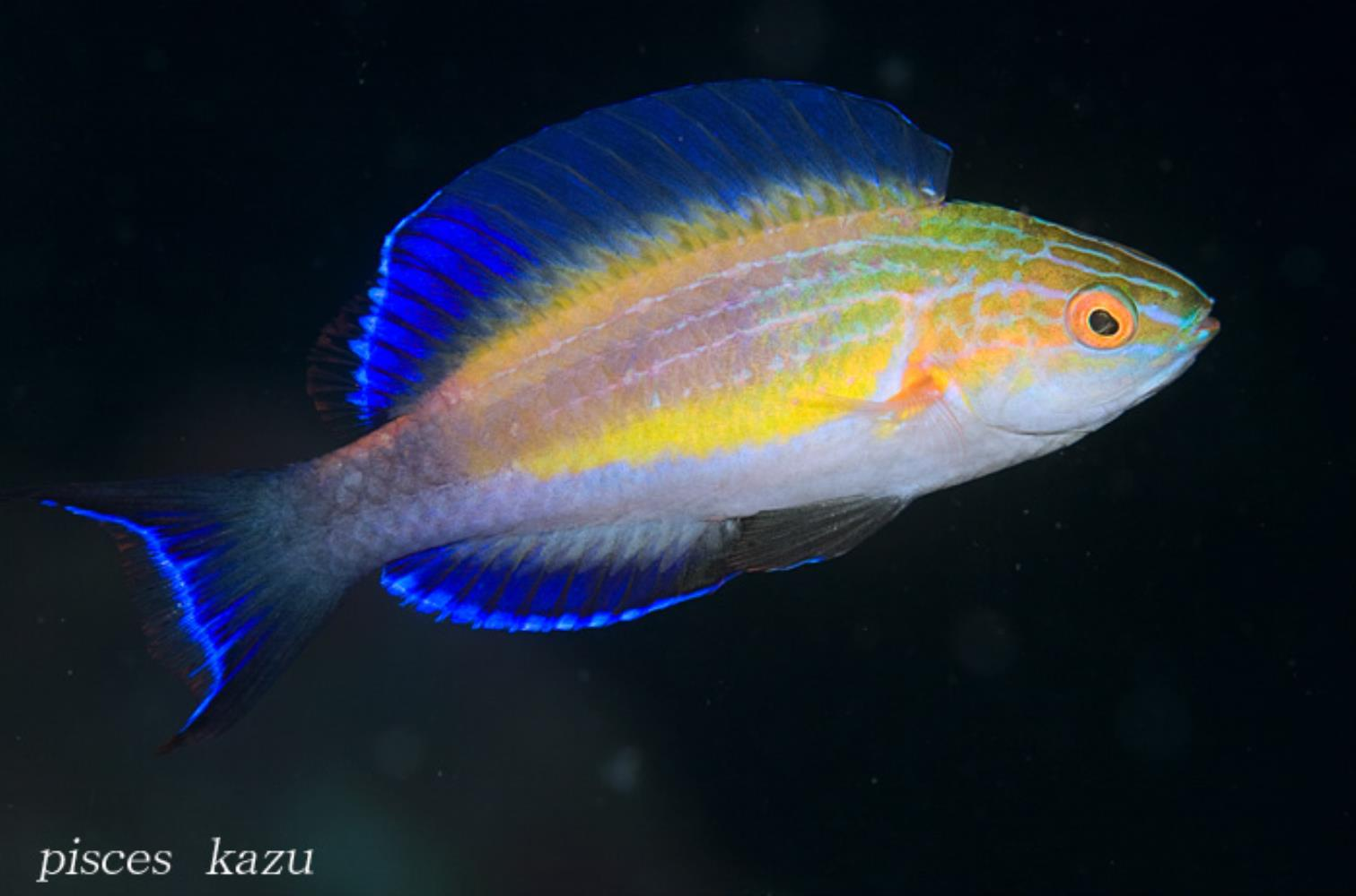 Crescent-tail Wrasse