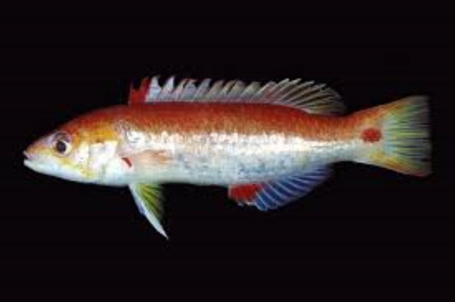 Cylindrical Hogfish