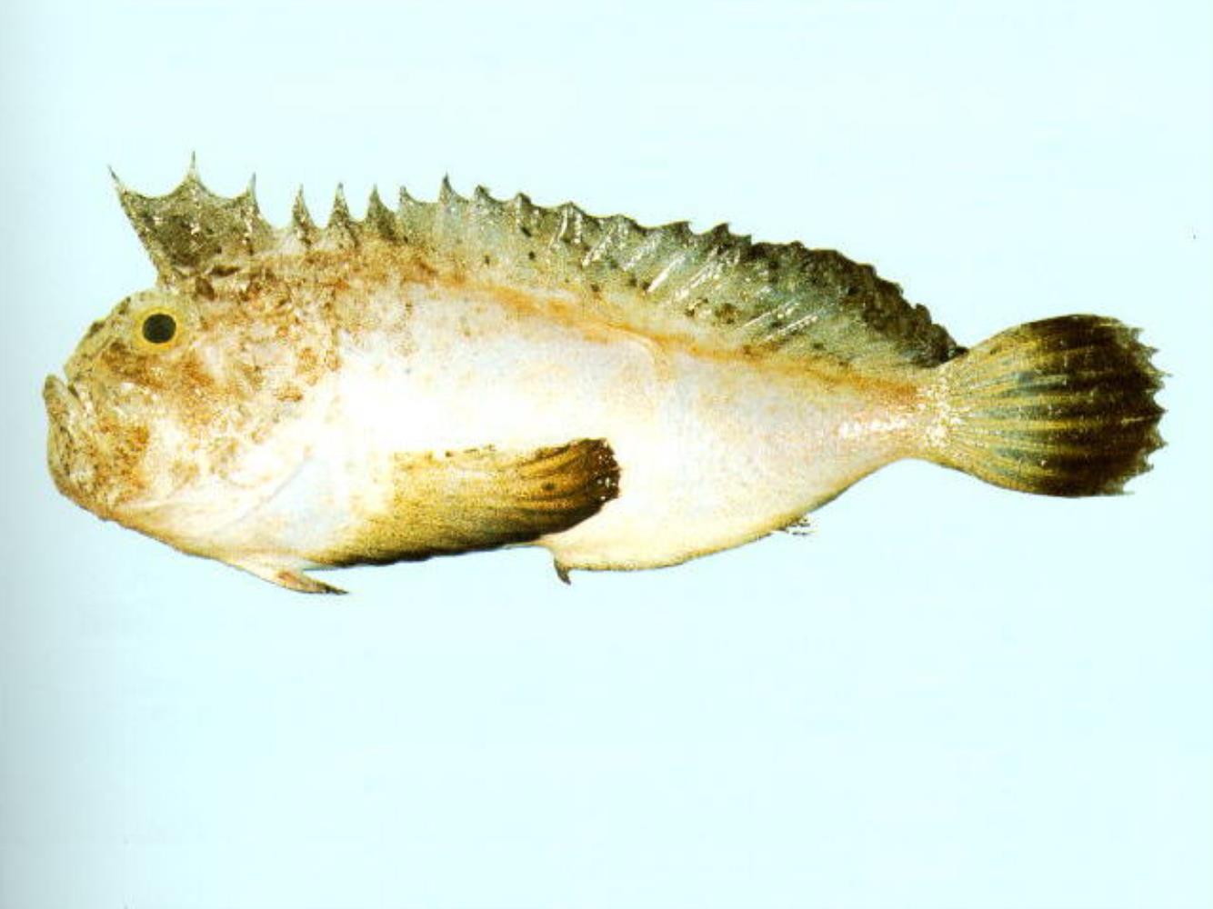 Dark-finned Velvetfish